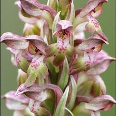 Anacamptis coriophora coriophora - Orchis parfumé