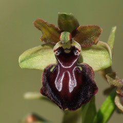 Ophrys passionis - Ophrys de la passion