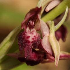 Anacamptis coriophora fragrans  - Orchis parfumé