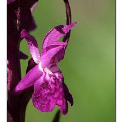 Dactylorhiza majalis ( détails de la fleur ) - Orchis de mai