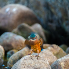 Eisvogel || © Robin Schütz