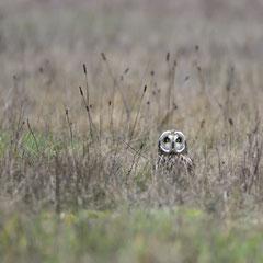 Short-eared owl|| © Robin Schütz