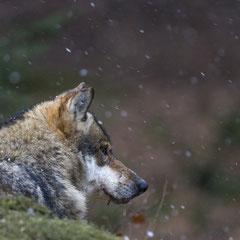 Wolf  || © Robin Schütz