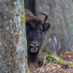 European bison  || © Robin Schütz