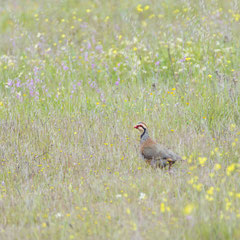 Red-legged partridge || © Robin Schütz