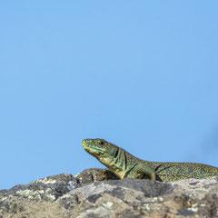 Ocellated lizard || © Robin Schütz