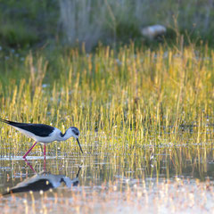 Black-winged stilt|| © Robin Schütz