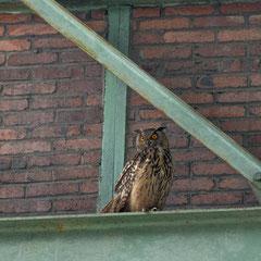 Eagle owl|| © Robin Schütz