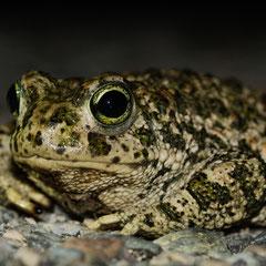 Natterjack toad || © Till Macher