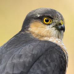 Eurasian sparrowhawk || © Robin Schütz