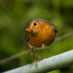 Robin || © Till Macher