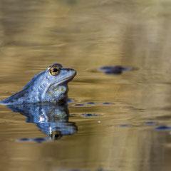 Moor frog || © Robin Schütz