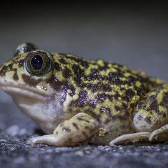 Natterjack toad || © Robin Schütz