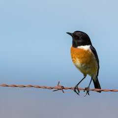 European stonechat || © Till Macher