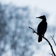 Kormoran / Cormorant || © Till Macher