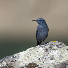 Blue rock thrush|| © Robin Schütz