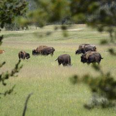 American bison || © Robin Schütz