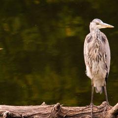 Graureiher / Grey heron || © Till Macher