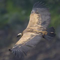 Griffon vulture || © Robin Schütz