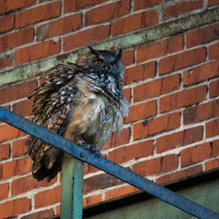 Eagle owl|| © Till Macher