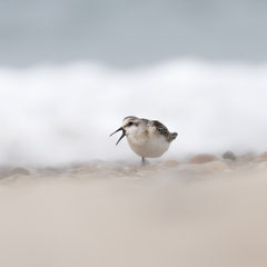 Sanderling || © Till Macher