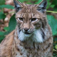 Lynx|| © Till Macher