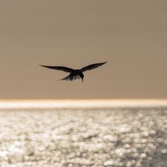 Küstenseeschwalbe / Arctic tern || © Till Macher
