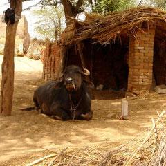 Die Kühe aus Rajasthan