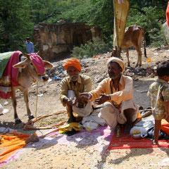 Heilige Kuh in Jaipur