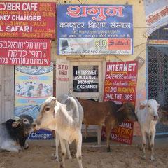 Internet und Kuh in Pushkar Rajasthan