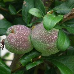 Fruits du pommier du japon