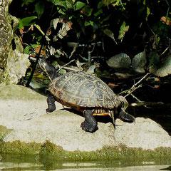 Schmuckschildkröte im Willy-Dohmen-Park (Foto: Heinz Weishaupt)