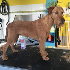 Irischer Terrier komplett handgetrimmt