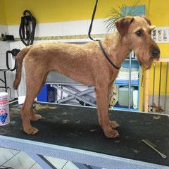 Irischer Terrier nachher.Handtrimmen nach FCI Standart.KEINE MASCHINE!