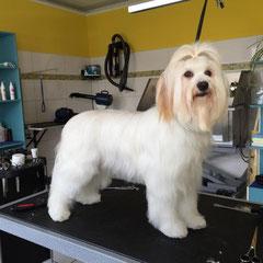 Tibet Terrier nachher.Baden ,Föhnen,Entfilzen.Behandelt mit PSH Kollagen Mask ,Smooth Keratin Shampoo und Smooth Keratin Mask+Matex.