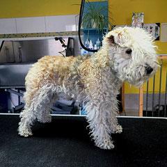 Lakeland Terrier vorher