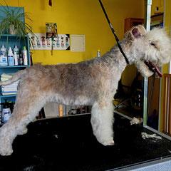 Lakeland Terrier nachher  komplett handgetrimmt