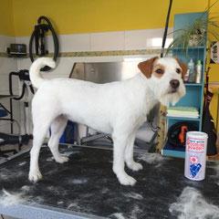 Parson-Russel Terrier nachher.Handtrimmen nach FCI Standart.
