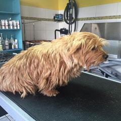 Norfolk Terrier vorher