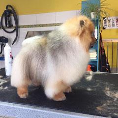 Pomeranian  nachher