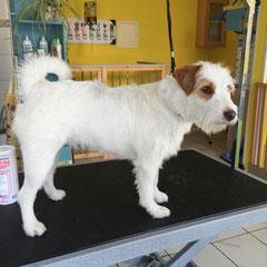 Parson-Russel Terrier vorher