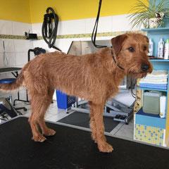 Irischer Terrier vorher