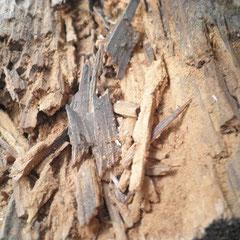 Holzzerstörende Pilze-u. Insekten am Dachsparren