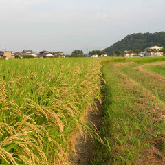 お米・麦がよく実る街です