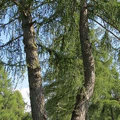 alpine Lärchen-Bäume