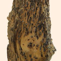 Briccole-Holz mit Gängen und Löchern in verschiedenen Formen durch Muscheln und Würmern