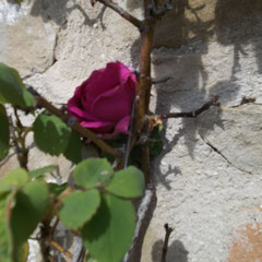 The old climbing rose on the front wall