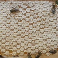 Bild: verdeckelte Honigwabe