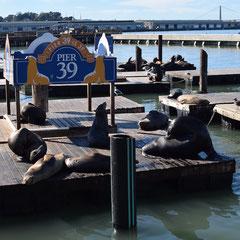 Seehunde am Pier 39