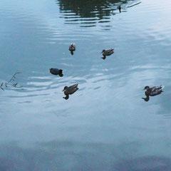 そしてあちこちに大小様々なサイズの運河があり、そこには必ずやはり大小様々なサイズのカモたちがいます。餌はあげてはいけないことになっているようです。